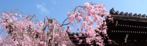 サイト京つねひごろのトップイメージ画像 京都立本寺に咲くしだれ桜
