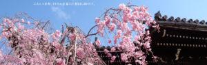 サイト京つねひごろのトップイメージ画像。京都立本寺に咲くしだれ桜。