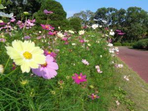 植物園 秋桜