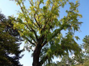 乾御門近くの銀杏の木