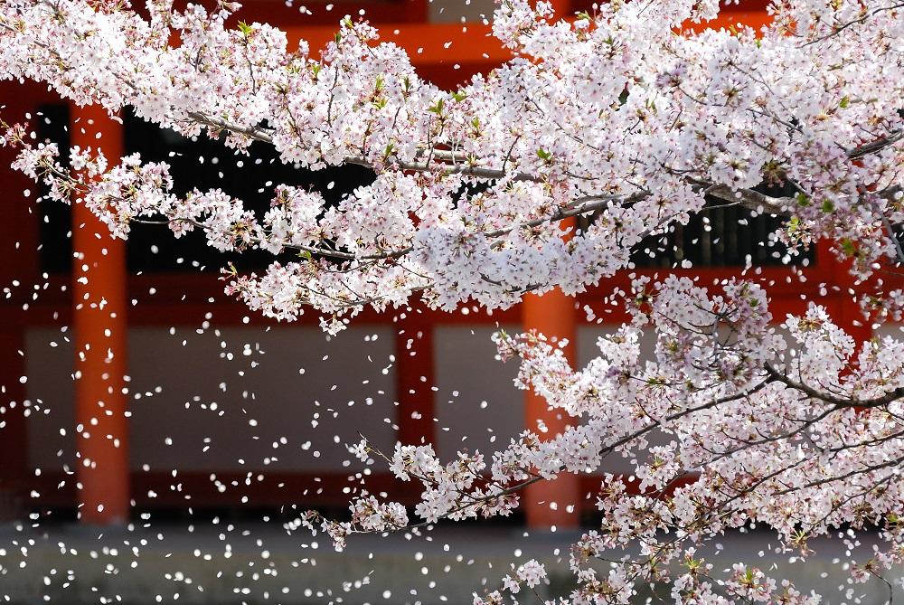 京都 桜吹雪