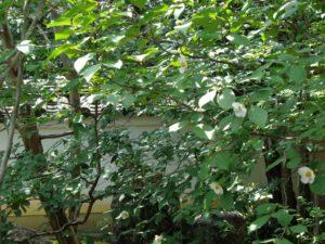 沙羅の花(夏椿)