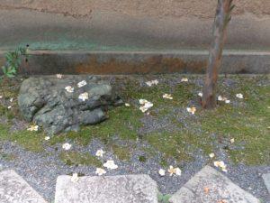 落花した沙羅の花(夏椿)
