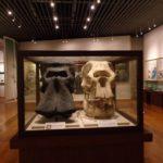 ナウマンゾウ、アジアゾウの化石