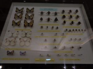 蝶、ハチなどの標本