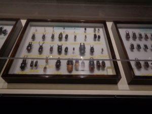 クワガタの標本