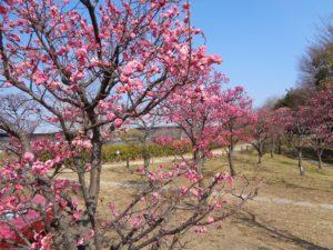 梅小路公園の梅