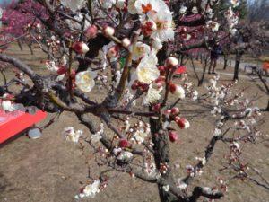 梅小路公園 間近で白梅を見る