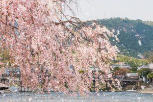 京都の嵐山 満開の桜