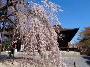 立本寺 しだれ桜