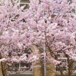 旧成徳中学校の春めき桜