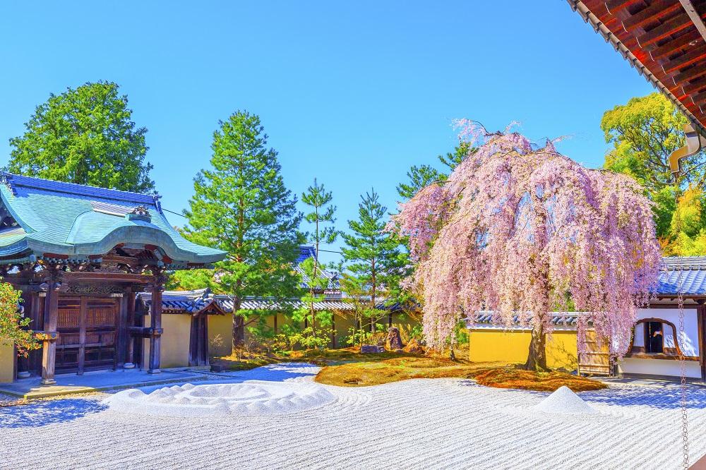 高台寺 桜の風景