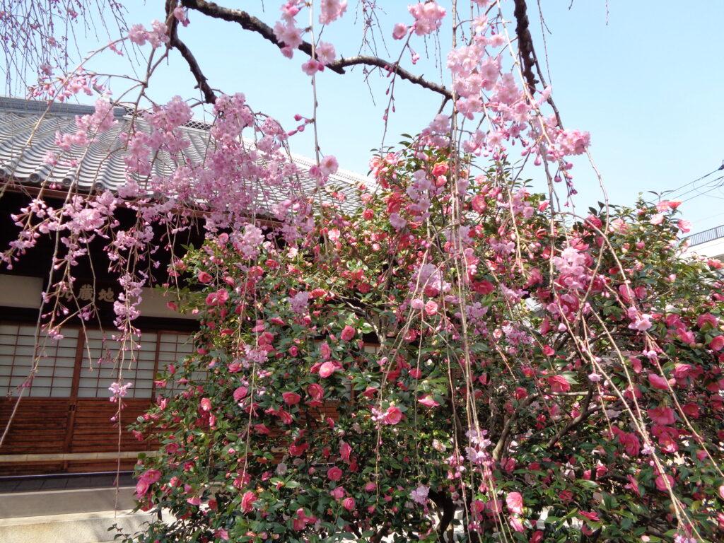 椿寺の五色八重散椿(2018年3月に訪れた際の写真)