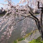 鴨川岸辺の桜
